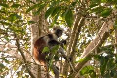 4435TAN_2415-còlobo-rosso-di-Zanzibar-Piliocolobus-kirkii