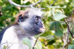 4465TAN_2445-còlobo-rosso-di-Zanzibar-Piliocolobus-kirkii